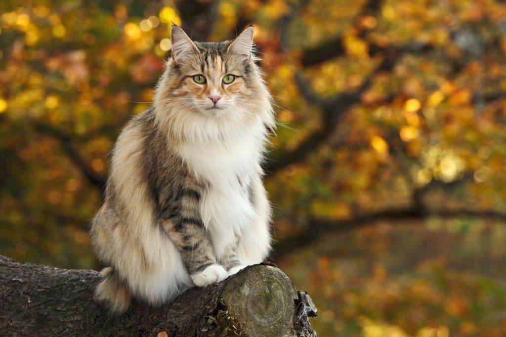norwegische waldkatze dreifarbig auf baum