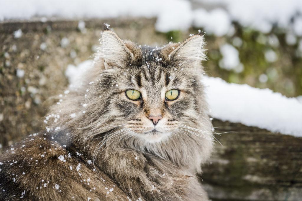 norwegische waldkatze schnee