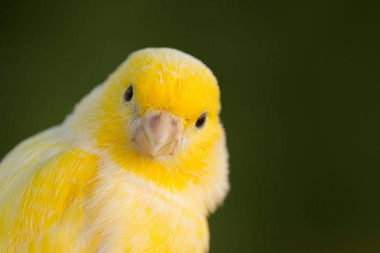 gul kanarifugl