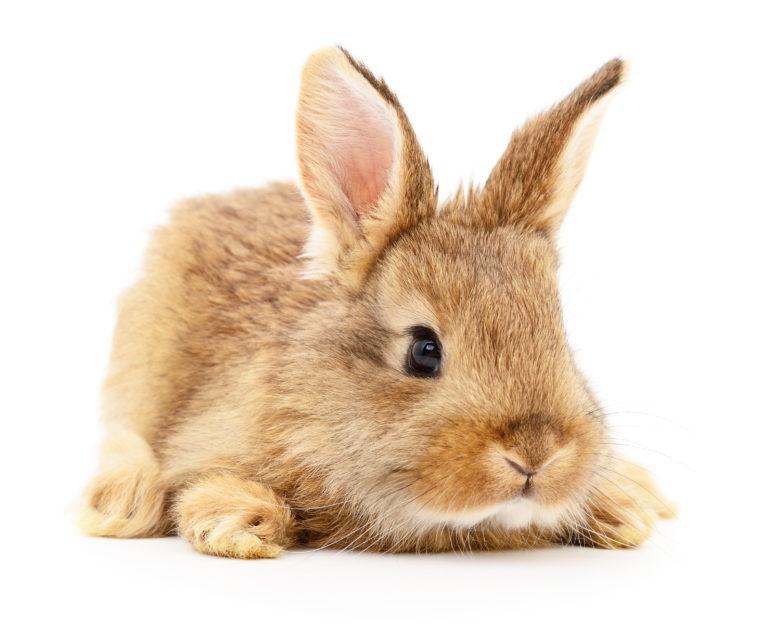 liten brunfarget kanin