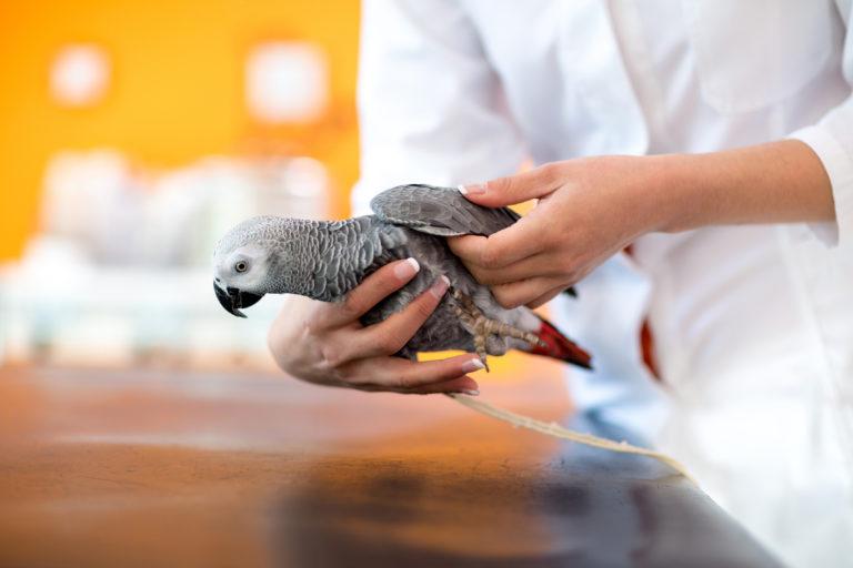 papegøye hos veterinær