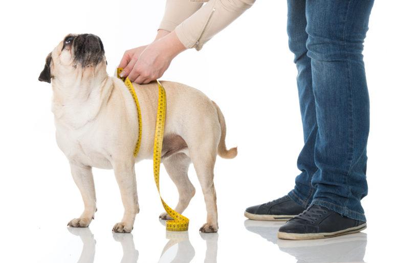 overvektig hund