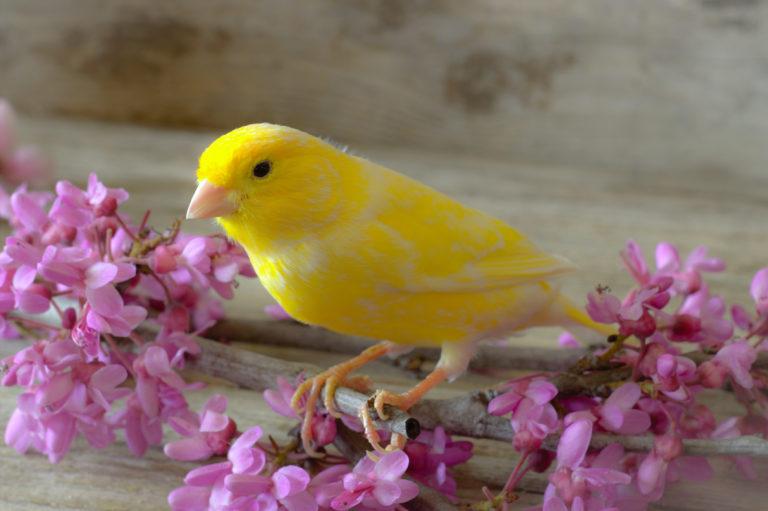 gul kanarifugl med blomster