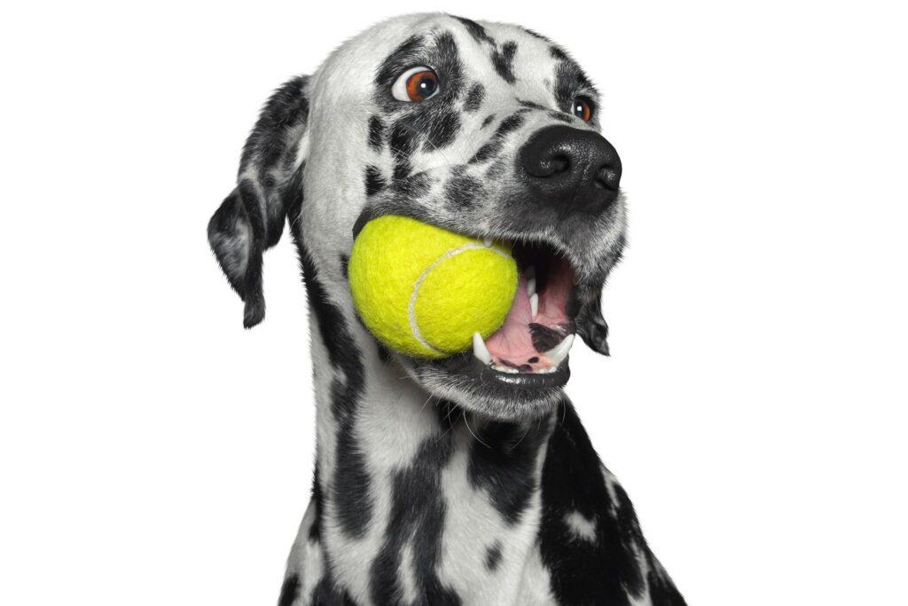 Hund som leker med gul ball