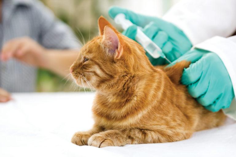 Katt som får vaksine av veterinæren