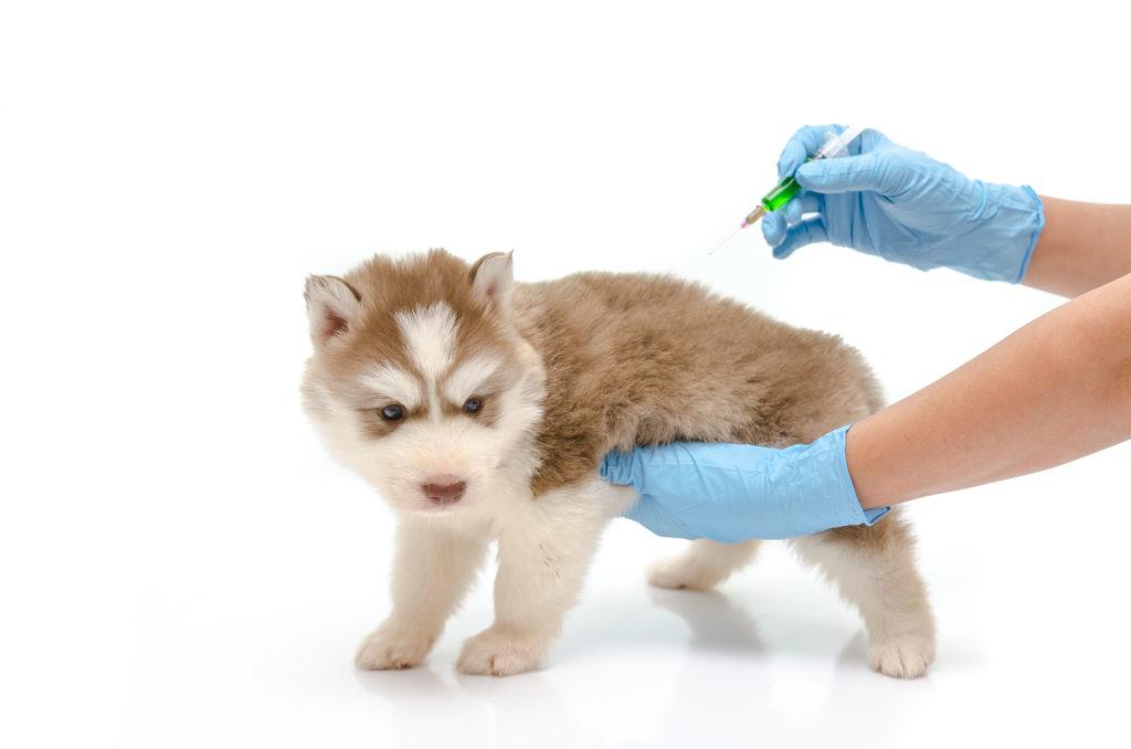 Veterinær gir vaksine til en valp