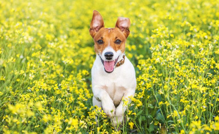 jack russel i blomstereng