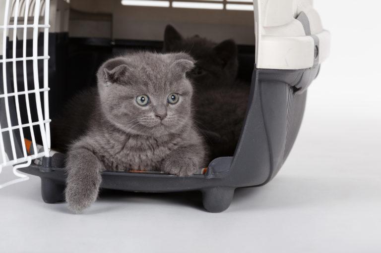 grå kattunge i reisebur
