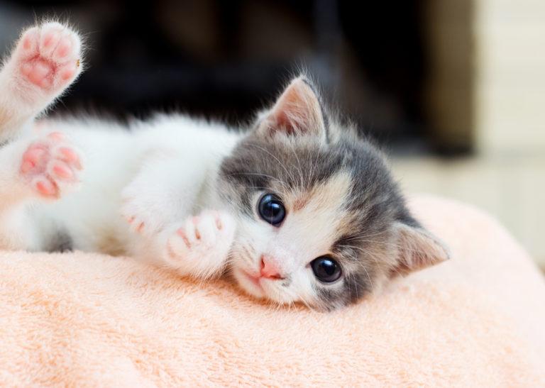 kattunge på koseteppe