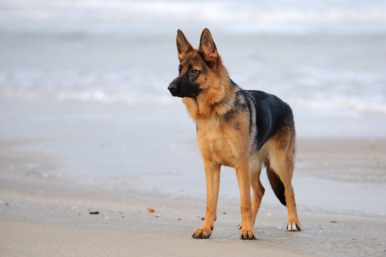 Schäferhund på standen