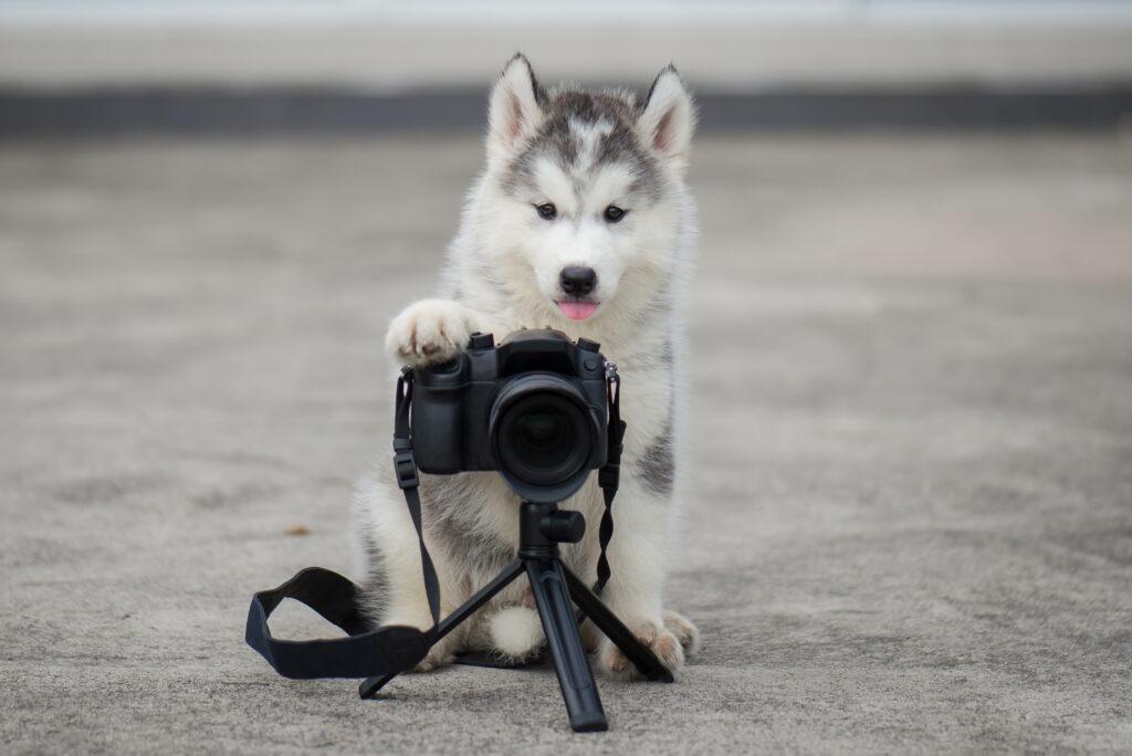 husky som tar et bilde