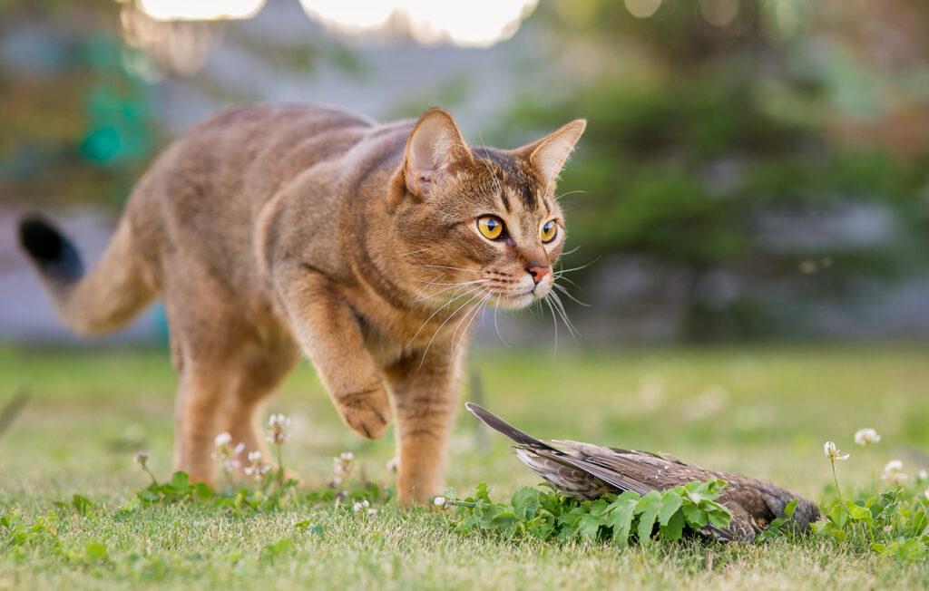 katt som jakter på fugl