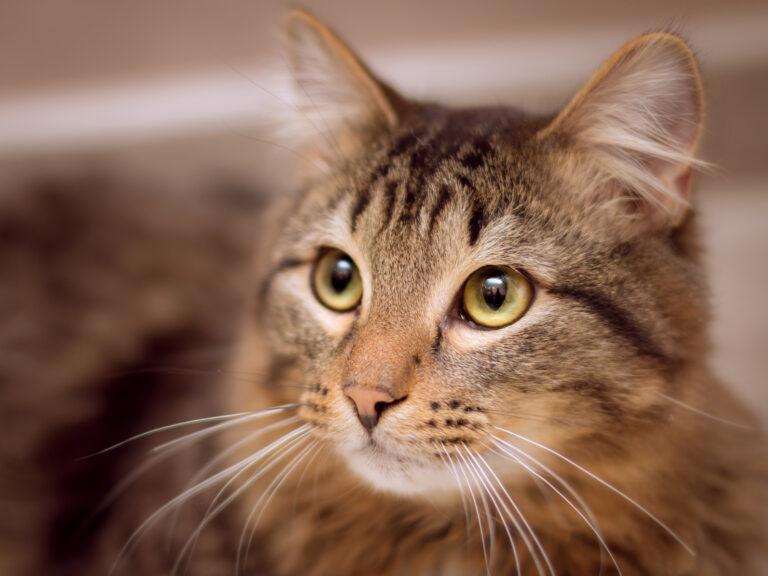 kattespråk