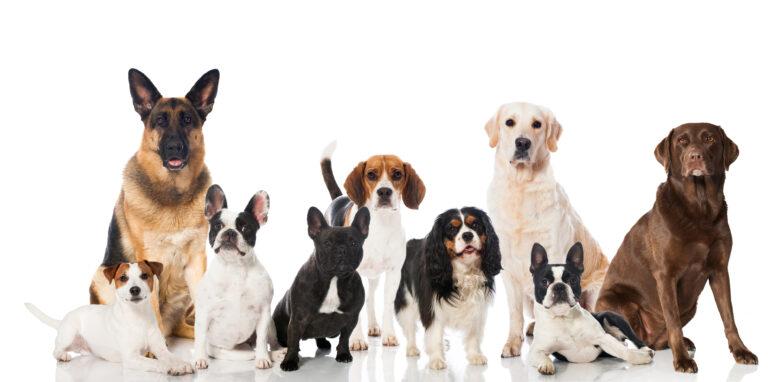 rasefôr til hund