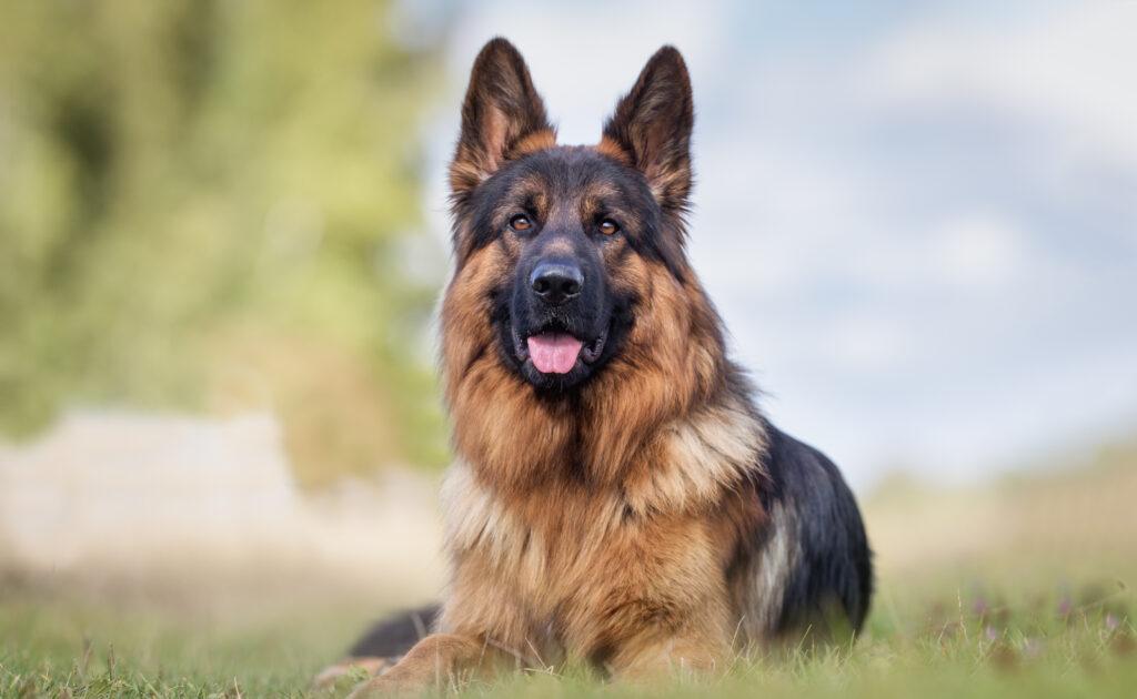 schäferhund på gressplen