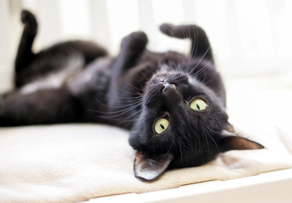 svart katt som ligger på ryggen