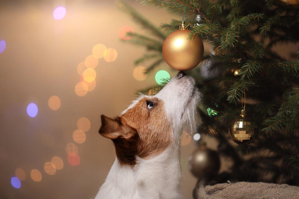 Hund som snuser på julekule