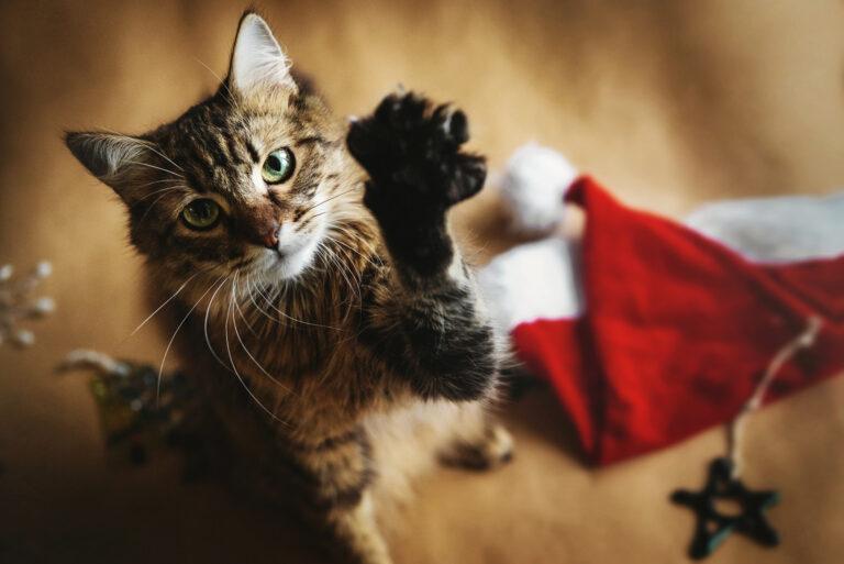 katt som leker med nisselue