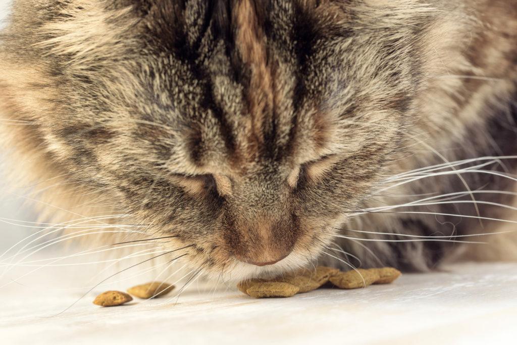 Fôrintoleranse hos katt