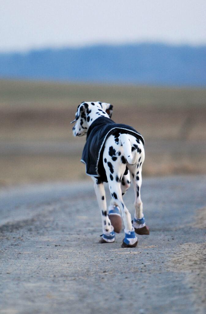 Dalmatiner med hundesko