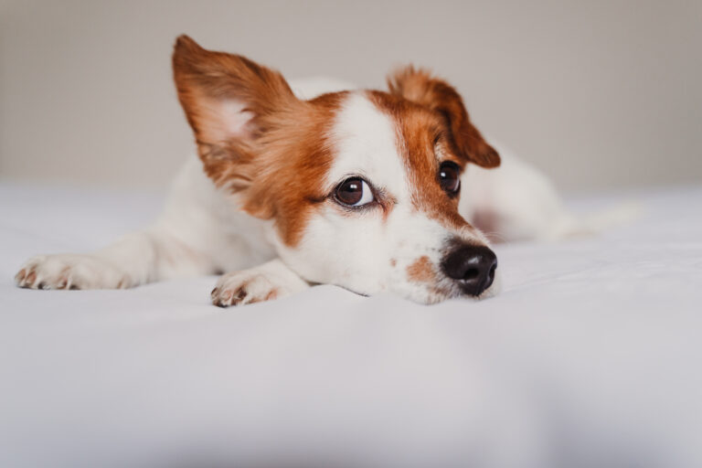 hundens coronavirus