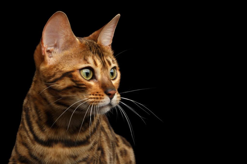 Kattens hørsel