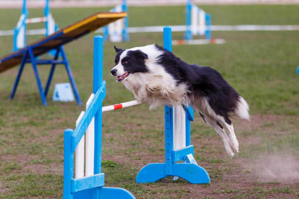Agilitytrening med hund