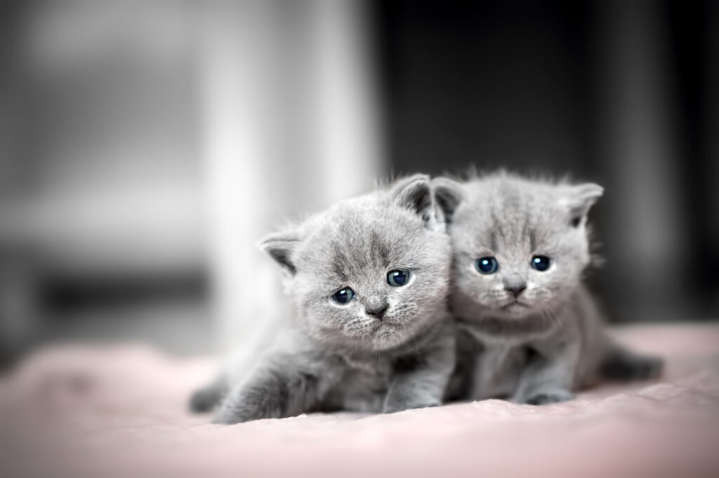 Britisk korthår kattunger