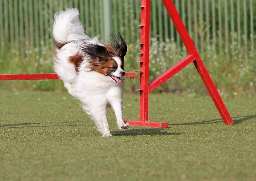 Liten hund i agility løype