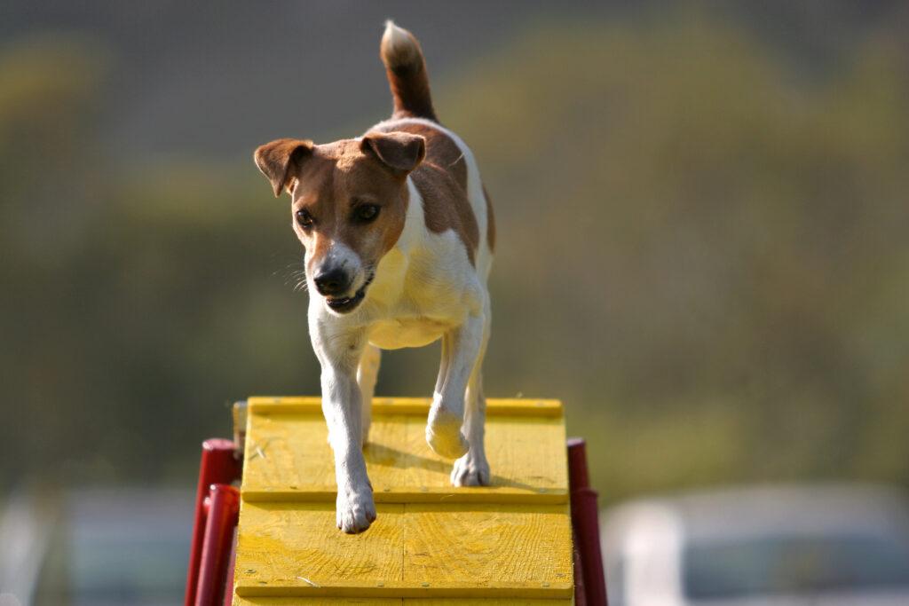 Liten hund på agility vippe