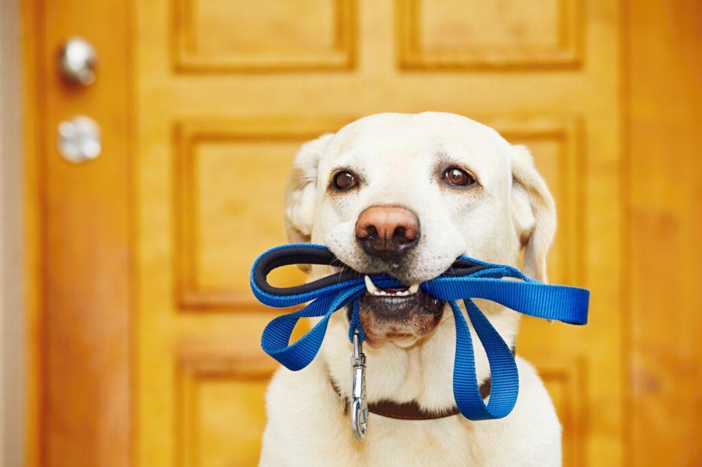 Søt hund med hundebåndet sitt i munnen