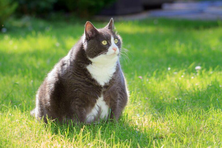 Overvekt hos katt
