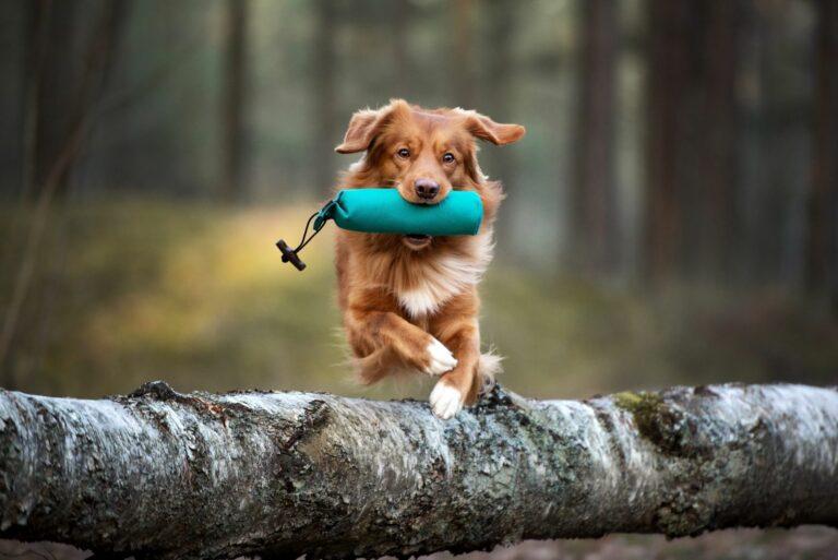 Springende hund i skogen med dummy i munnen