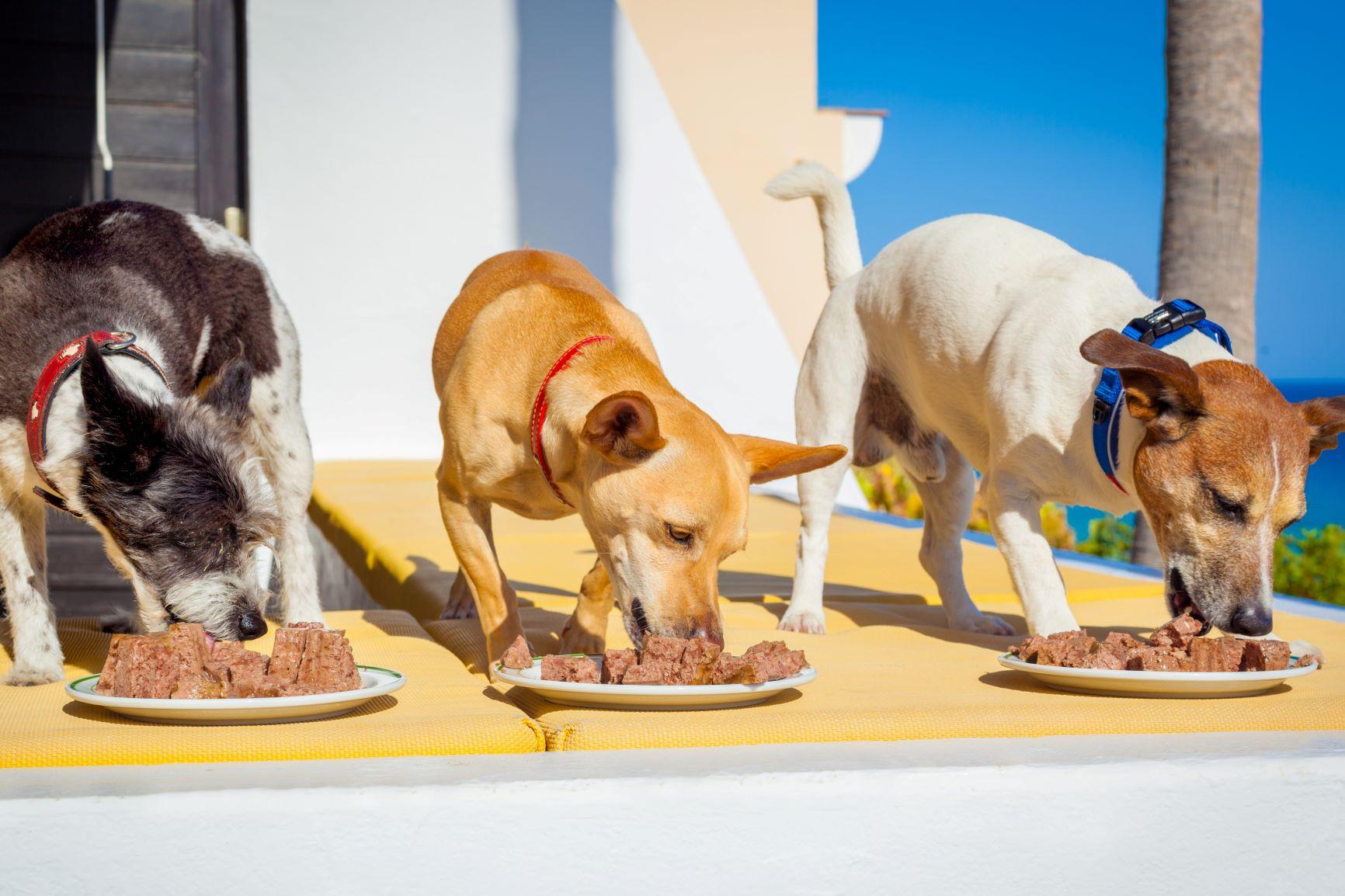 Hunder som spiser våtfôr fra tallerken