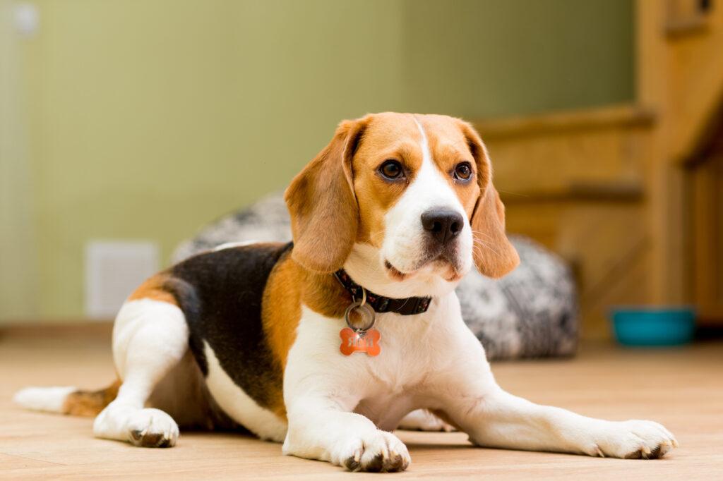Skjønn beagle som ligger