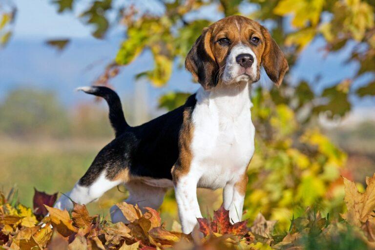 Nysgjerrig beagle