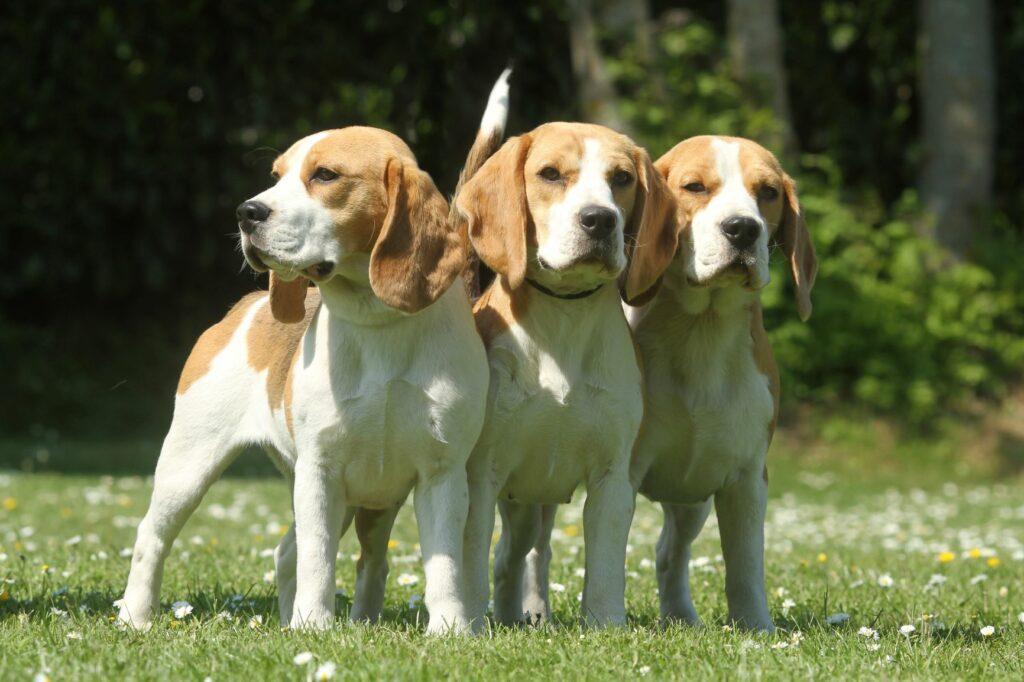 Beagler i flokk