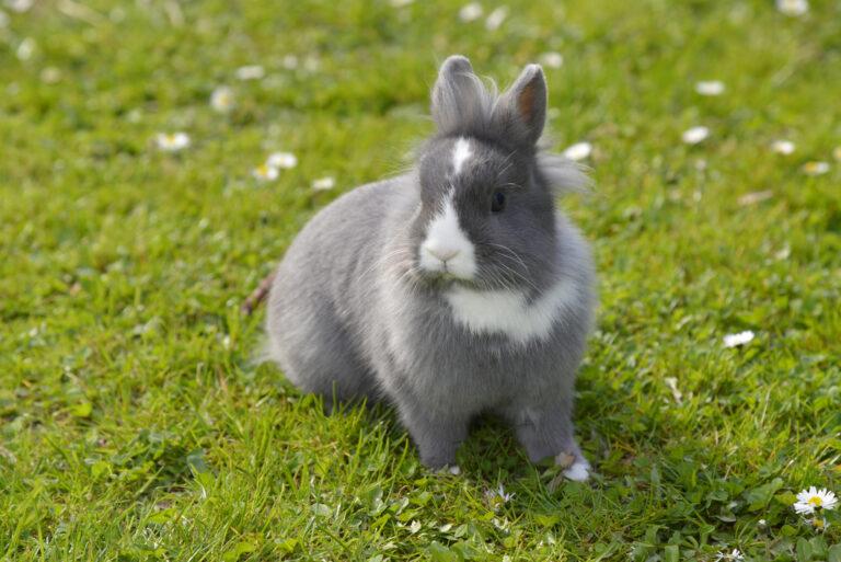 Lysegrå kanin på gressplen