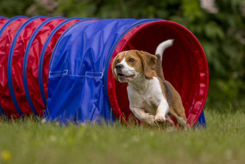 Hund i agilityløype