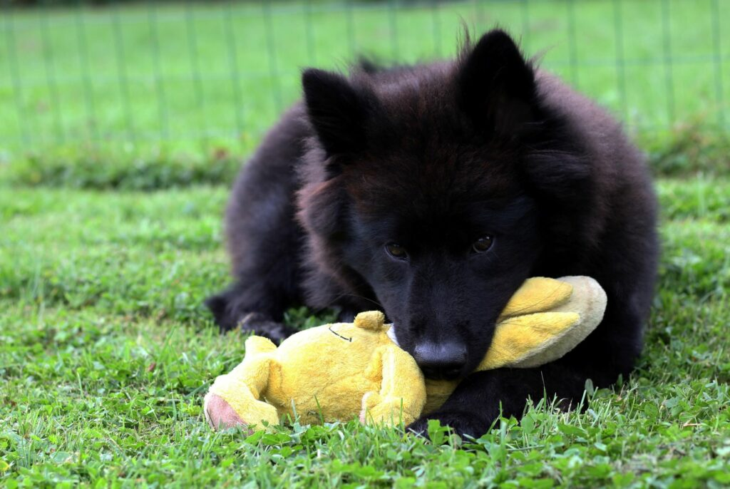 Eurasier valp med hundeleke